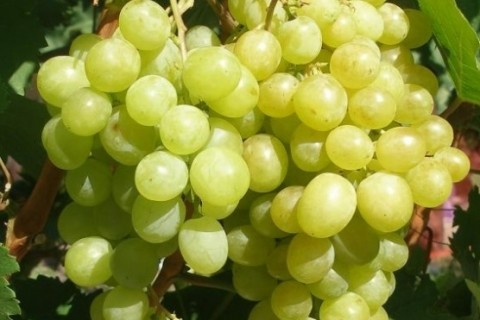 Виноград Алёшенькин