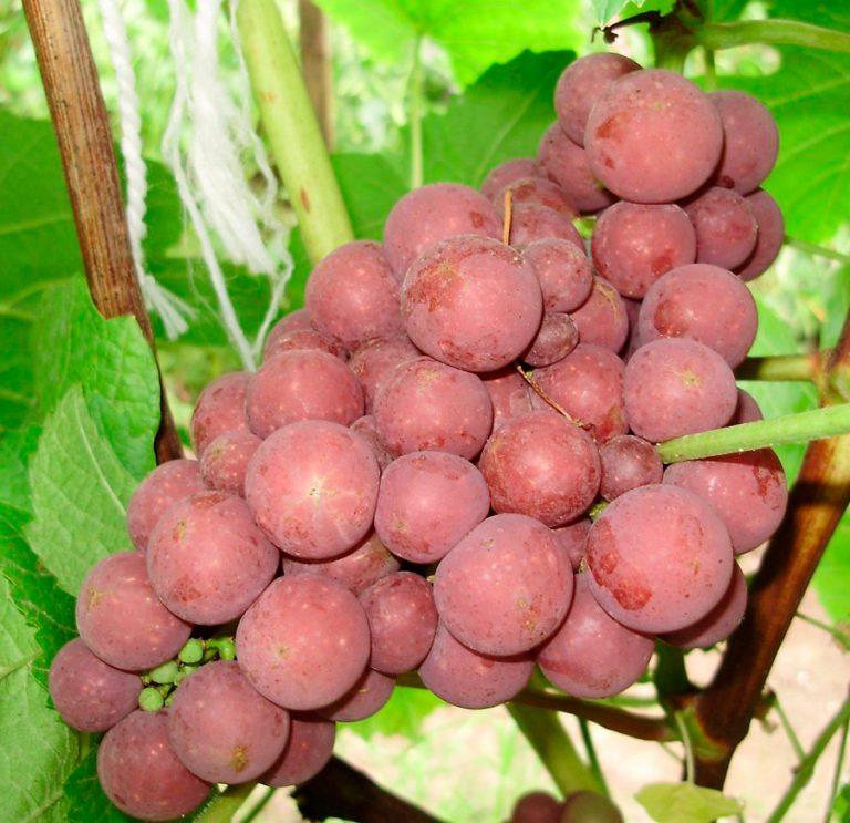 философские фото разновидностей винограда пищевую
