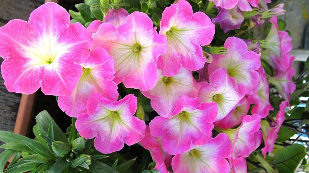 Многоцветковые петуньи
