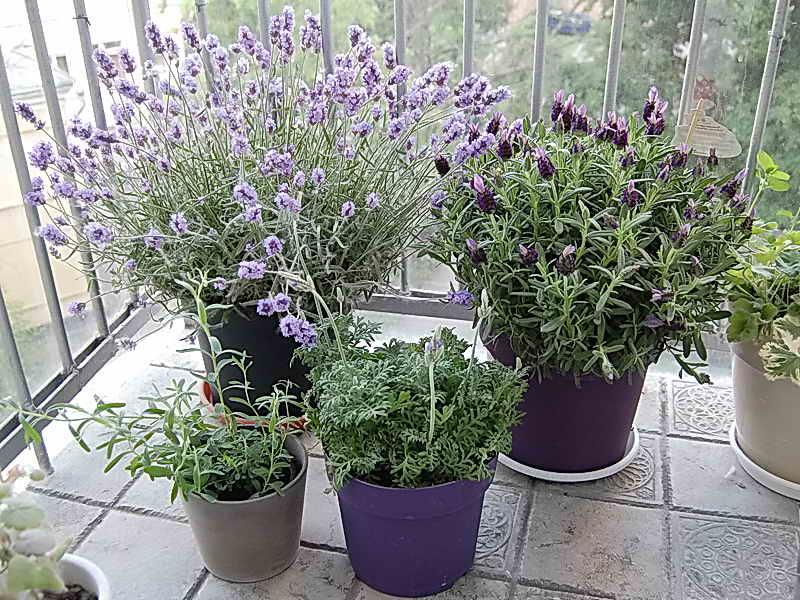 Выращивание лаванды дома