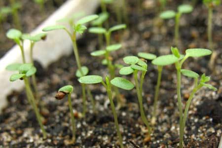 Всходы семян клубники
