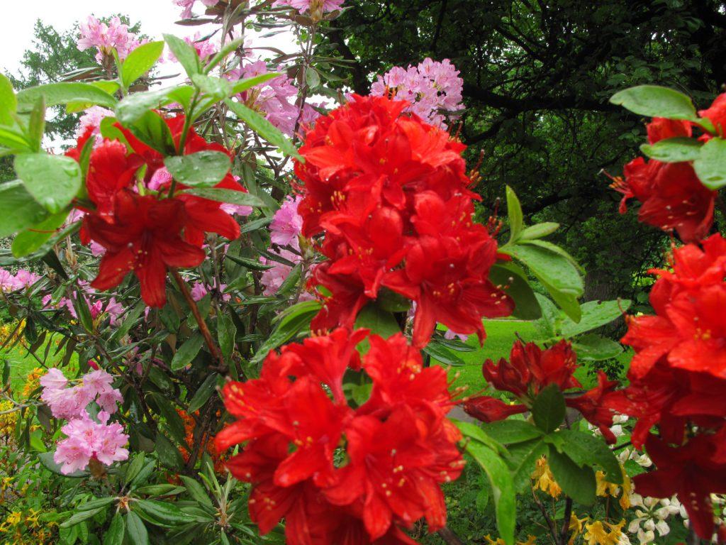 Рододендрон цветение