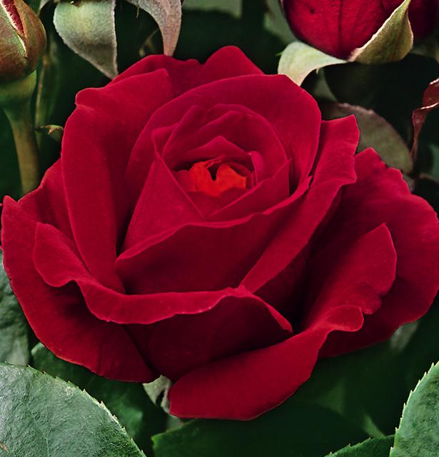 Роза грандифлора Дам де Кер