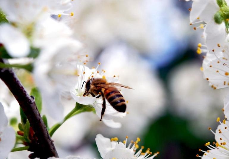 Опыление вишни пчелами