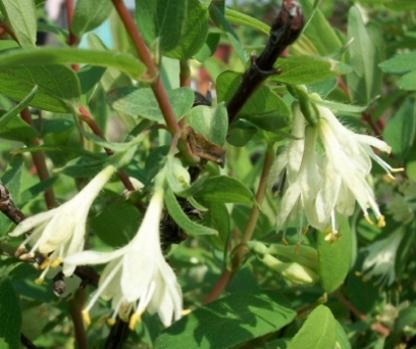 Цветение жимолости съедобной