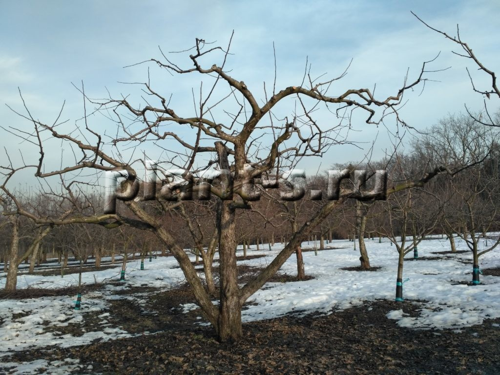 Яблоня после обрезки