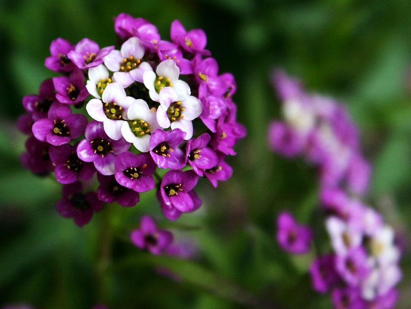 цветок алиссума