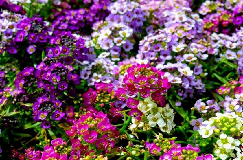 Алиссум разноцветный