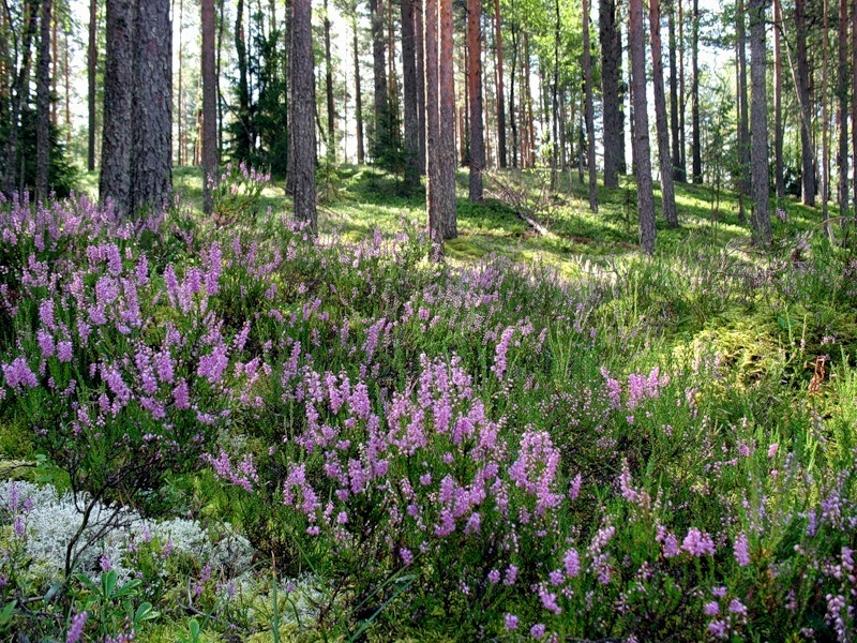 вереск в лесу