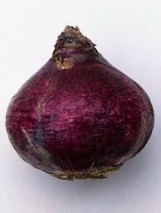 Луковица гиацинта