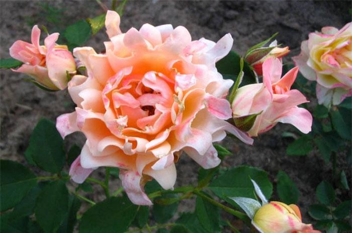 Роза Rrafflz Drim