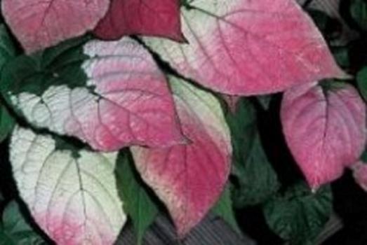 Пестрые листья А. коломикты