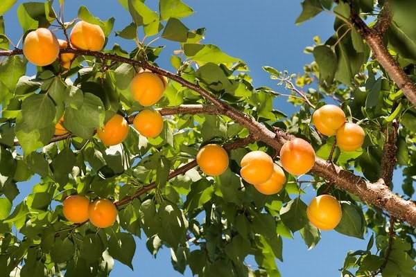 Лучшие сорта абрикоса для участка