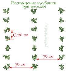 schema_posadki_klubniki