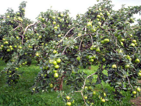 Яблоня Чудное с плодами