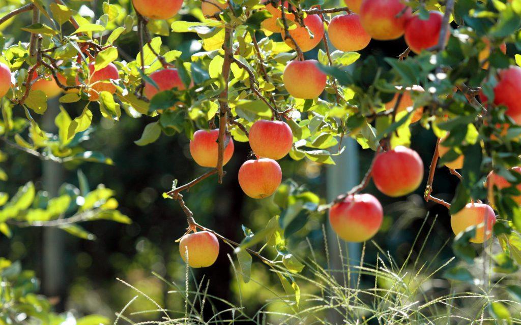 Яблони для Урала: какой выбрать сорт, описание