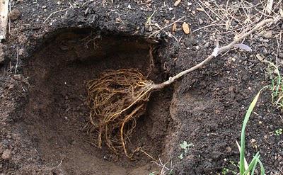 Саженец яблони в прикопе