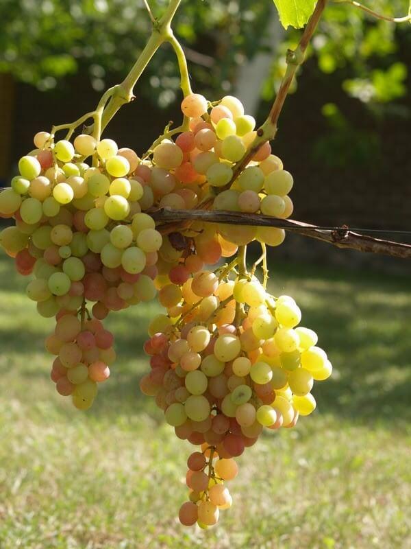 vinograd_arkadija
