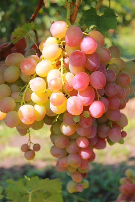 vinograd_livija