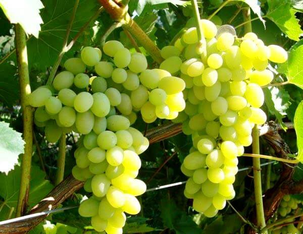 vinograd_lora