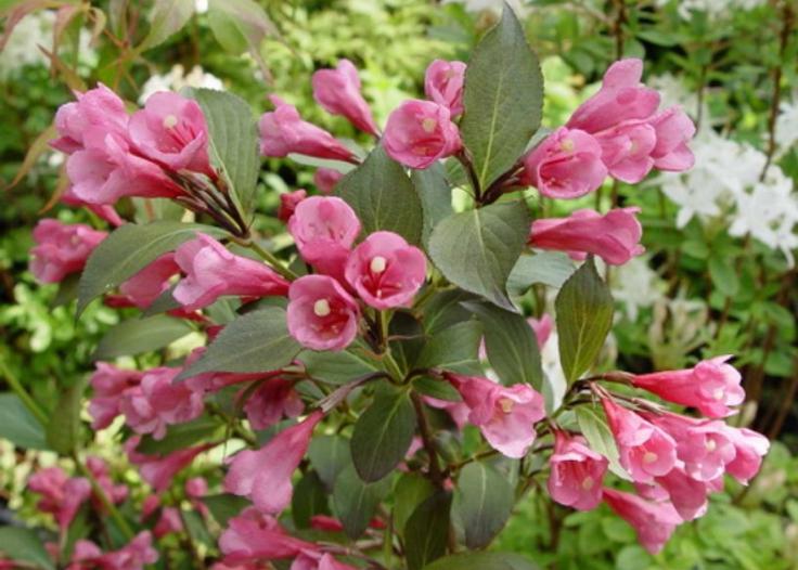 Вю цветущая (W. florida)