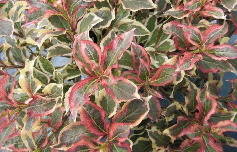 Нарядная листва сорта Monet