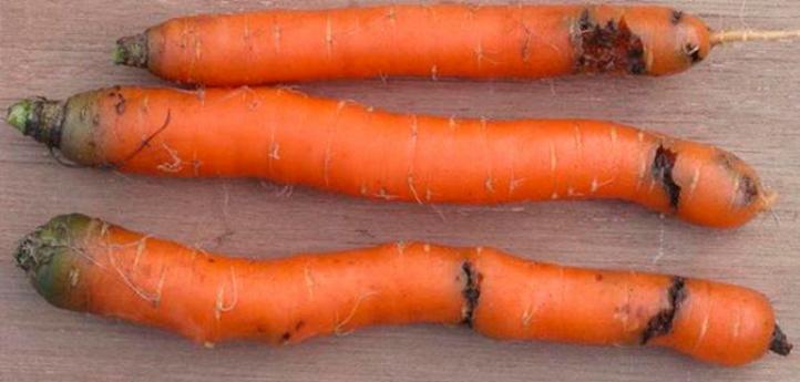 Повреждения морковной мухой