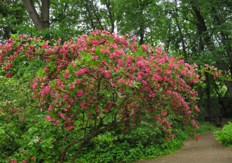 Цветущий куст вейгелы