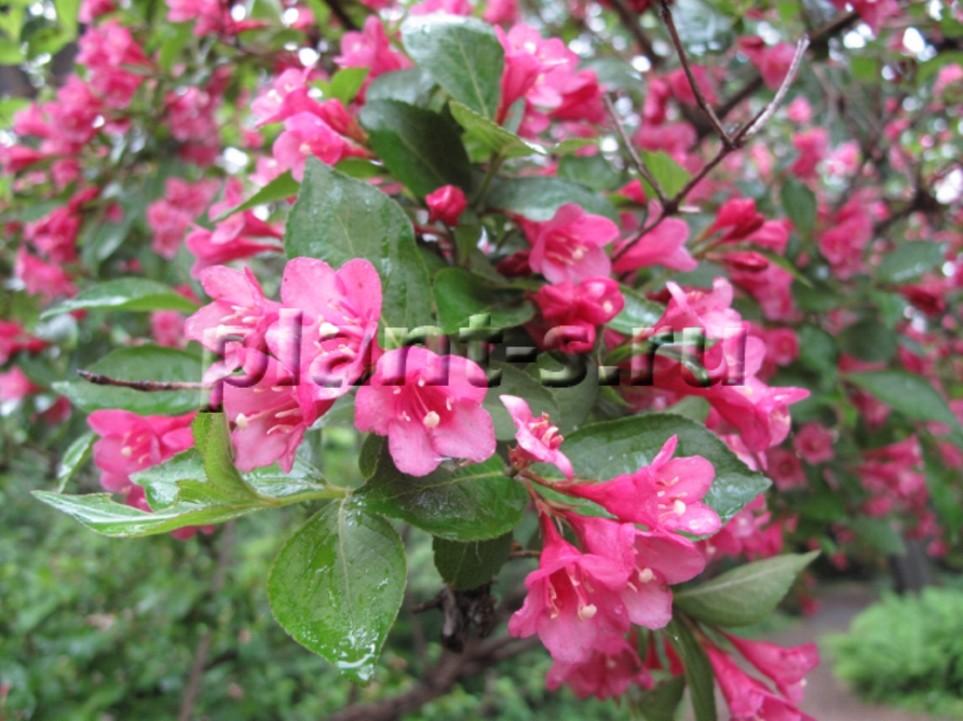 вейгела цветы