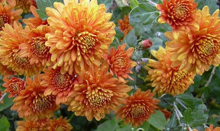 Хризантема корейская Зорька