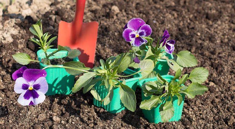 виола посев семян на рассаду хитрости